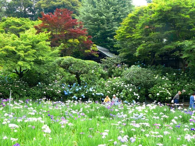 花菖蒲咲く本土寺